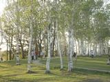 蒜山高原 白樺