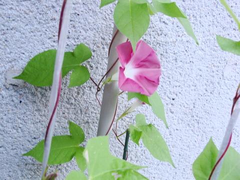 朝顔 開花 (4)