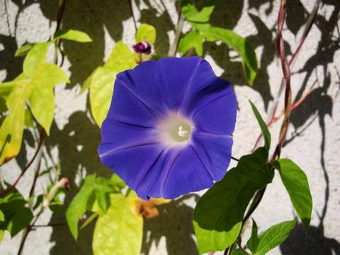 朝顔2013 青紫  (3)