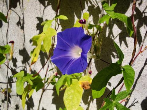 朝顔2013 青紫  (1)