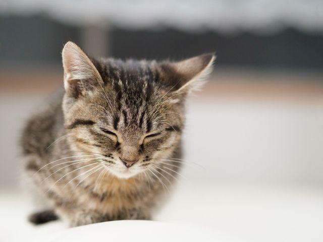 目を閉じる子猫