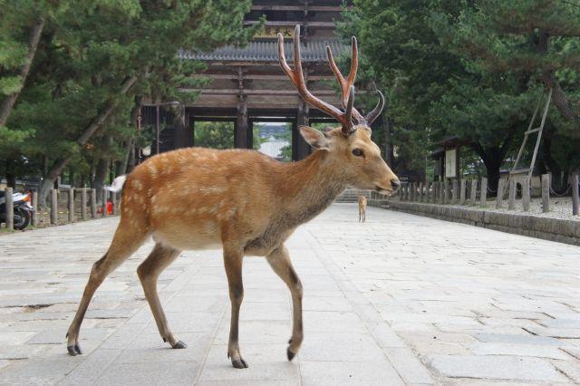 奈良東大寺シカ鹿