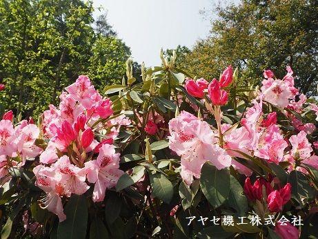 石楠花しゃくなげ (2)