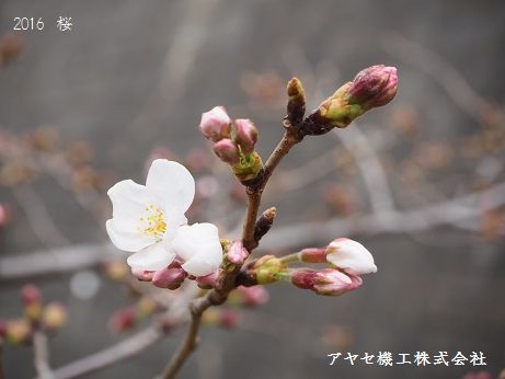2016綾瀬市桜 (5)