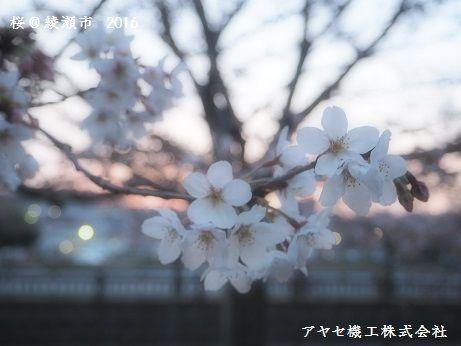 綾瀬市の桜と夕日