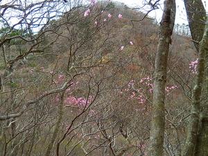 塩原渓谷遊歩道「回顧コース」のヤシオツツジ
