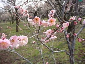 ピンクの梅も開花