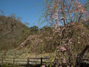 七ツ岩つり橋桜とヤシオ