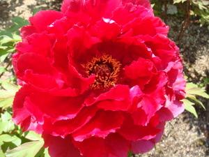 庭の牡丹赤