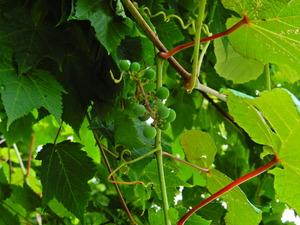 ハンターマウンテンゆりパークのヤマブドウ