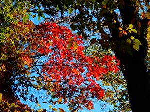 紅の吊橋周辺の紅葉