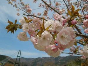 八重桜と吊橋