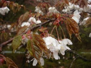雨にぬれる山桜