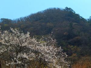 塩原温泉街の桜