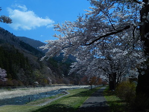 塩原古町の桜