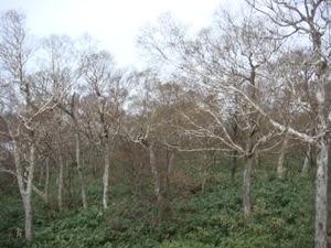 大好きダケカンバの林