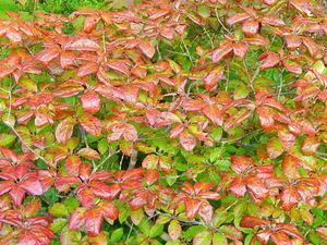コメツツジの紅葉