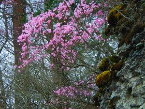 錦帯岩のヤシオツツジ