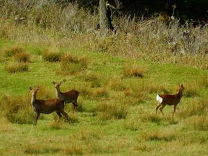 鹿の群れに遭遇
