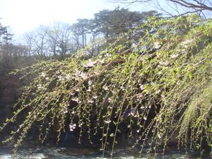 咲かずの桜が今年は咲きました