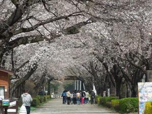 千本松の桜