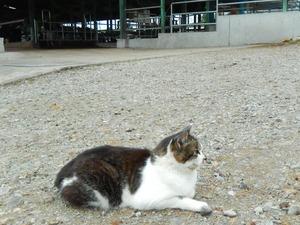 牧場の猫もホルスタイン柄