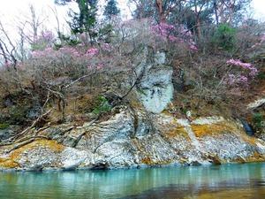 福渡のヤシオツツジ2017.4.17