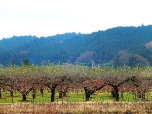 矢板のりんご園風景