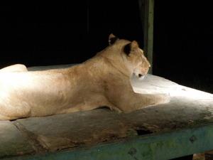 メスのライオン「げんき」