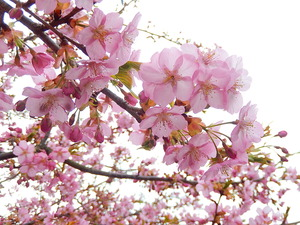アグリパル塩原の桜