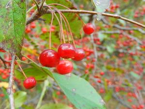 大沼の赤い実ズミ