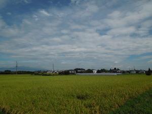 米の収穫間近