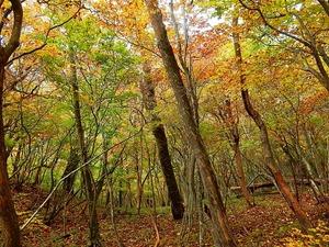 シロヤシオの森