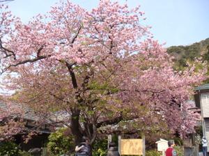 河津桜(原木)
