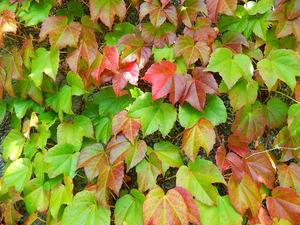秋色のツタ