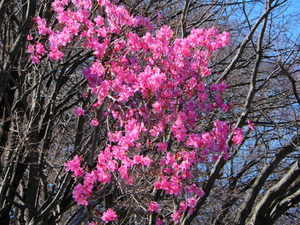 ヤシオツツジが咲き始めました