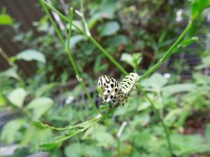 キアゲハの幼虫3齢?