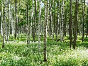 秋の奥日光白樺林とシロヨメナ