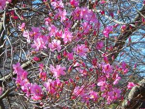 塩原で一番早く咲くヤシオツツジ