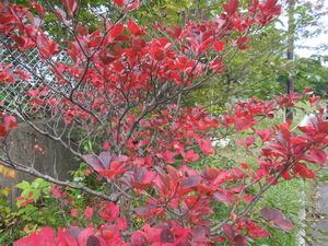 ツツジの真っ赤な紅葉