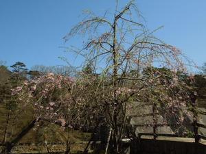 七ツ岩つり橋としだれ桜