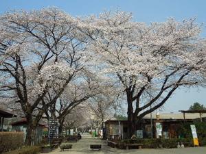 千本松の桜並木