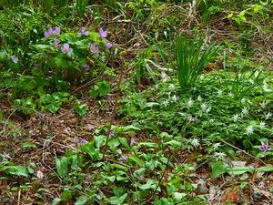敷地内の山野草たち