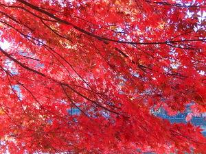 紅の吊橋のモミジ
