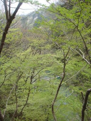 回顧のつり橋と対岸の山の桜