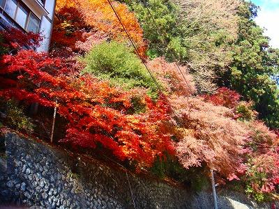 明賀屋本館玄関前の紅葉