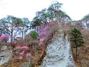 塩原渓谷のヤシオツツジ