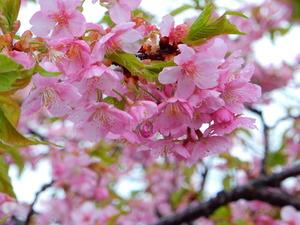 アグリパルの河津桜