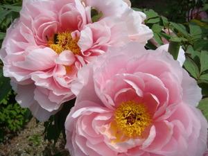 今年の早咲きの牡丹