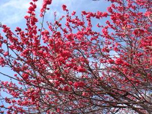 桃の花が盛り